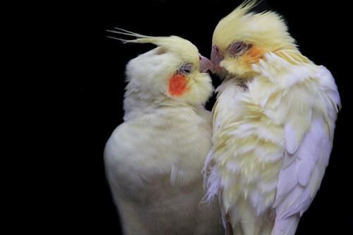 20150218-200_muses-Imatge_A_love_birds_kiss_ jinterwas_CC2.0_Attribution-Text_Vols_Tere_SM