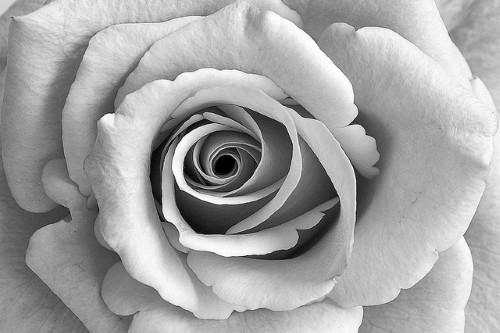 20150407-200_muses-Imatge_Rose_Orange_Palepale_I_jeici1_CC2.0_Attribution-Text_Vols_que_compti_Tere_SM