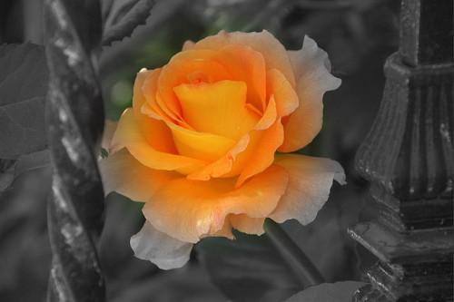 20150605-200_muses-Imatge_Orange_Rose_s_Prison_ Prision_de_Rosa_Naranja_Jesus_Solana_CC2.0_Attribution-Text_Veus_Tere_SM