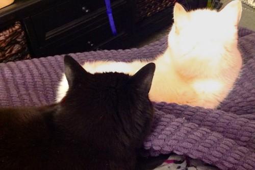 20150923-200_muses-Imatge_Black_Cat_White_Cat_rochelle_hartman_CC2.0_Attribution-Text_Gat_negre_Tere_SM